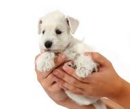 White puppy Stock Photo