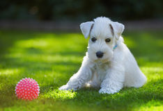 White puppy Stock Image