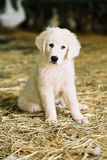 White puppy Royalty Free Stock Images