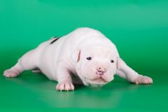 White puppy Stock Photos