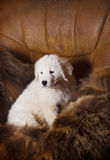 White puppy in an armchair Royalty Free Stock Photos
