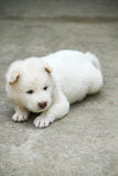 White puppy. Bangkeaw in Thailand Royalty Free Stock Photography