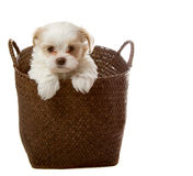 White puppy in basket Royalty Free Stock Photo