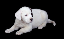 White Puppy on Black Background Stock Images