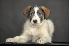 White puppy with black and red on the face Royalty Free Stock Photos