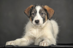White puppy with black and red on the face Stock Photos