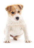 White puppy with brown spots. Stock Images