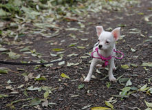 White puppy of chihuahua in autumn forest Royalty Free Stock Images