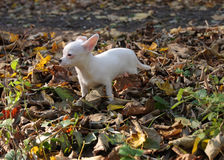 White puppy of chihuahua in autumn forest Royalty Free Stock Photo