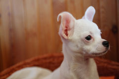White puppy of chihuahua in basket Stock Image