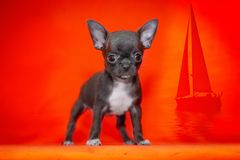White puppy Chihuahua on the beautiful beach.Sunset stock photography