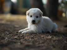 White puppy. Close up of a little white dog Stock Photography