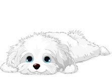 White Puppy. A cute white Havanese puppy laying down