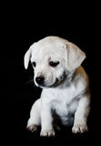 White puppy in the dark. This puppy loves to posing to the camera Royalty Free Stock Photos