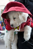White puppy dressed in a red jacket with a hood. Royalty Free Stock Photography