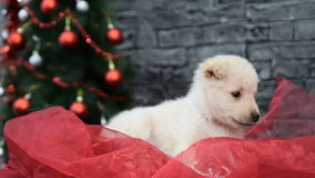 White puppy in holiday spirit surrounded by New Year`s decoration stock video footage