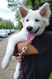 White puppy on human arm Royalty Free Stock Photo