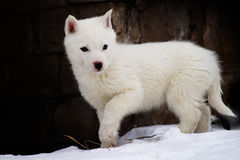 White puppy of the husky Stock Photo