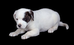 White Puppy Isolated on Black Stock Images