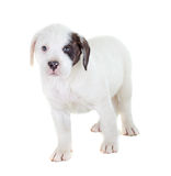White Puppy Isolated Stock Photo