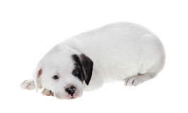 White Puppy Isolated on White Stock Photo
