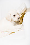 White puppy lying on the sofa with the toy Stock Photos