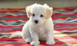 White puppy maltese dog sitting on carpet. White puppy maltese dog sitting on red carpet Stock Photography