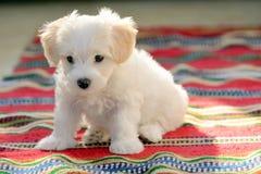 White puppy maltese dog sitting on carpet. White puppy maltese dog sitting on red carpet Royalty Free Stock Image