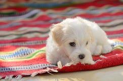 White puppy maltese dog sitting on carpet. White puppy maltese dog sitting on red carpet Royalty Free Stock Photography