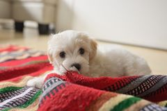 White puppy maltese dog. Playing Stock Photos