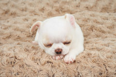 White puppy on mat. White puppy of Chihuahua sleeps on beige mat Royalty Free Stock Images