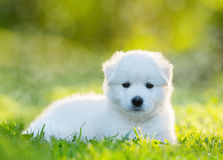 White puppy of mix breed in one and a half months old. This white mixed breed's parents have been a Labrador Retriever and a Samoyed Dog Royalty Free Stock Image