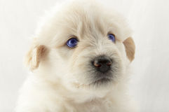 White puppy muzzle South Russian Shepherd Royalty Free Stock Photos