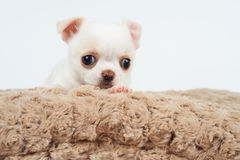 White Puppy On Bed Stock Images