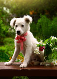 White puppy photo in summer garden. With vase and flowers Royalty Free Stock Image