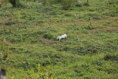 White puppy playing on the green meadow  royalty free stock images