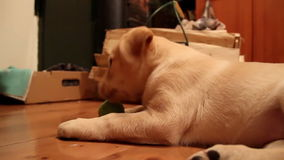 White puppy playing with his ball stock footage