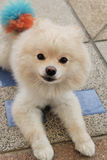 White puppy pomeranian dog cute pets looking Stock Images