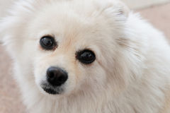 White puppy pomeranian dog cute pets looking Royalty Free Stock Images