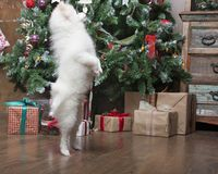 White puppy Pomeranian stands on the background of the Christmas tree. White puppy Pomeranian stands on his hind legs against the background of the Christmas Royalty Free Stock Images