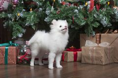 White puppy Pomeranian stands on the background of the Christmas tree. Next to gifts Royalty Free Stock Photo
