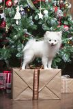White puppy Pomeranian stands on a gift box on the background of the Christmas tree. And looks closely Stock Photos
