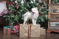 White puppy Pomeranian stands on a gift box on the background of the Christmas tree. And looks closely Royalty Free Stock Photography