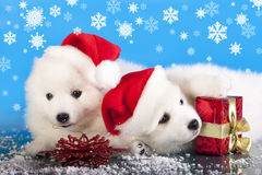 white puppy with a present red box Royalty Free Stock Image