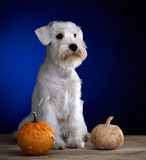 White puppy and pumpkins Royalty Free Stock Image