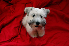 White puppy on red background. An adorable white miniature schnauzer puppy on a red background Stock Photography