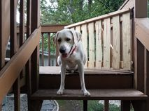 White puppy with red collar at the top of wood stairs stock photography