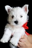 White puppy with  red ribbon Royalty Free Stock Photo