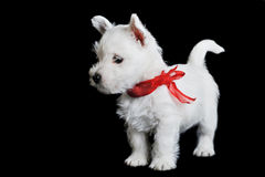 White puppy with  red ribbon Stock Image
