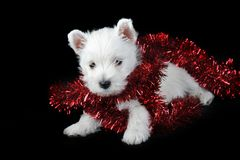 White puppy with red ribbon on black Royalty Free Stock Photos